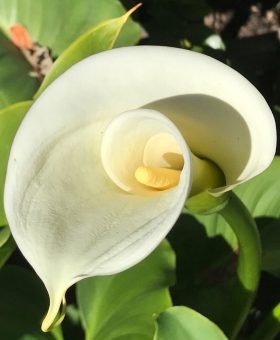 Calla Lily Flower Essence Healing Energy