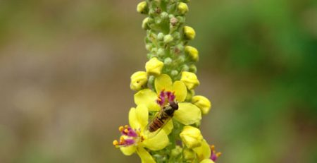 Mullein Energy of Truth
