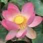 Lotus Healing Energy