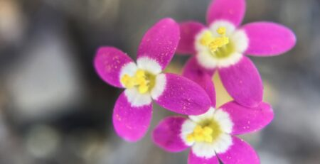 Centaury Flower Essence Healing Energy