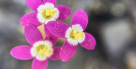 Centaury Flower Essence Healing Energy