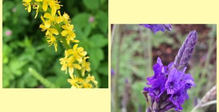 Flower Essences for Healing: Agrimony & Vervain
